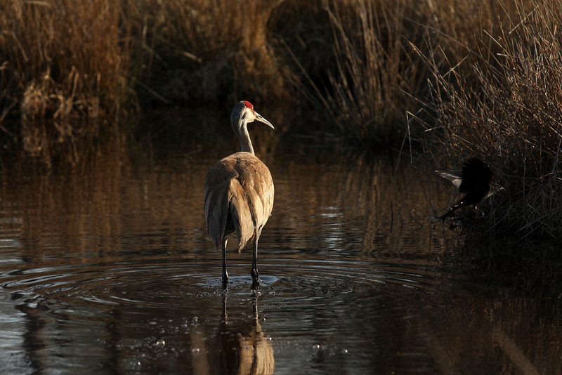 A Sandhill crane getting pestered by a red winged black bird.