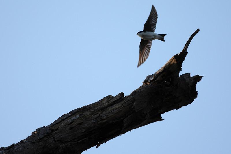 A tree swallow taking flight