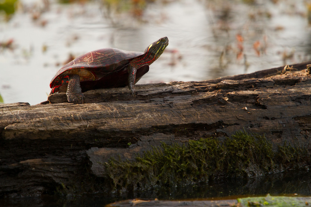 A painted turtle taking advantage of the sun...which has been hiding out behind clouds for the past week.