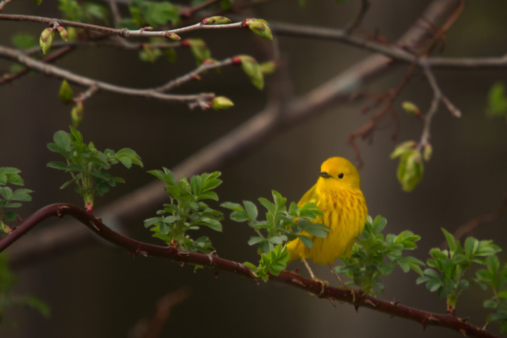This guy was fidgety, like most small birds, but for a Warbler he was quite photogenic.<br /> Yellow Warbler, Sandy Ridge Reservation, North Ridgeville Ohio