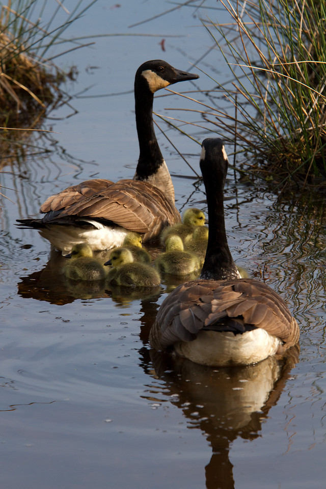 Taking the kids to the park....<br /> Canadian Geese: Sandy Ridge Reservation