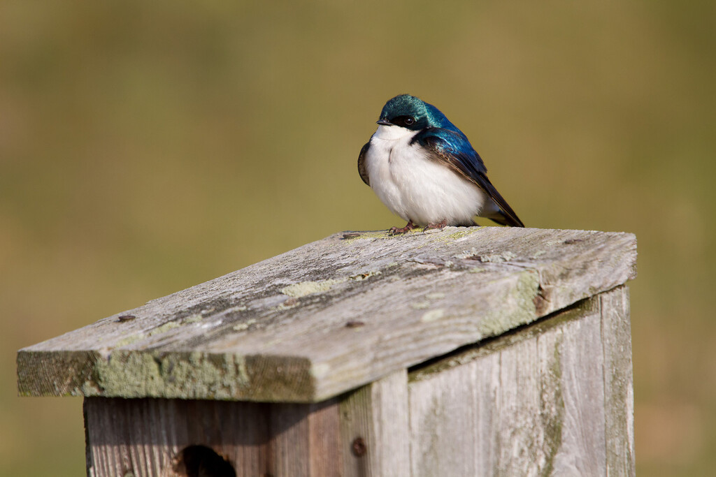 Tree Sparrow standing guard.<br /> Sandy Ridge Reservation, North Ridgeville Ohio