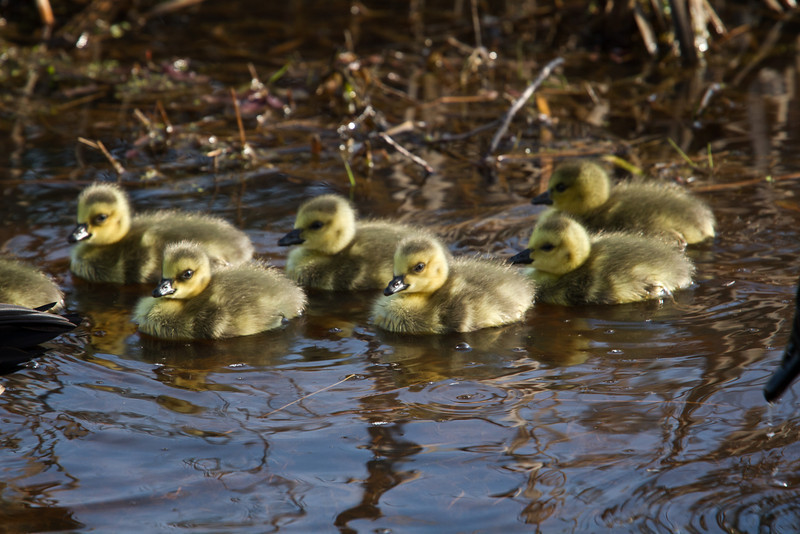 Baby Canadian Geese