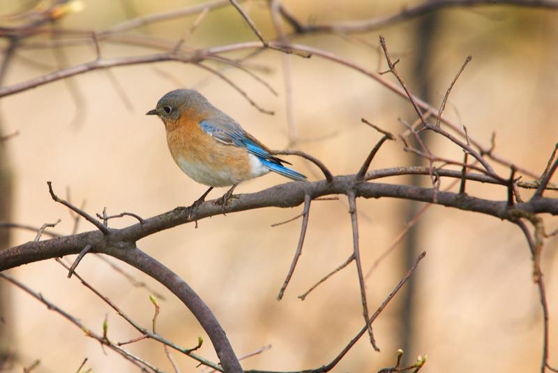 An Eastern Bluebird at Sandy Ridge Reservation