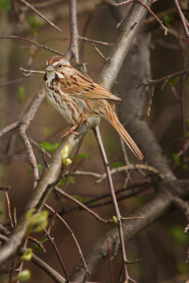 Song Sparrow, Sandy Ridge Reservation, North Ridgeville Ohio.
