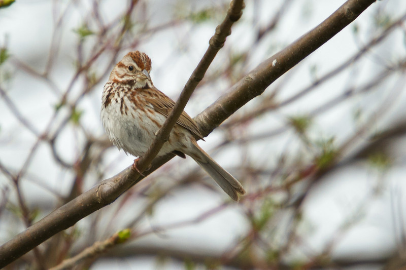 Song Sparrow. I always find birds with brown coloring hard to identify.  The easiest way to identify this bird is to look for the larger dark spot on its breast.  There's a few birds that look like this but none have the dark brown spot like the Song Sparrow.<br /> <br /> Sandy Ridge Reservation, North Ridgeville Ohio