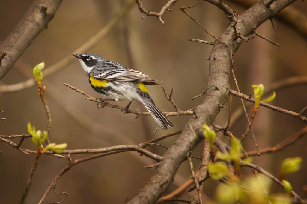 A Yellow-rumped Warbler<br /> Sandy Ridge Reservation, North Ridgeville Ohio