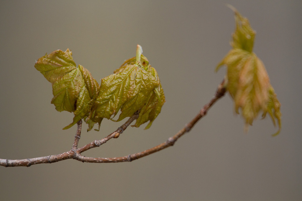 Maple leaves are starting to appear