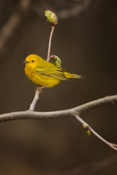 A male Yellow Warbler perching on a branch at Sandy Ridge Reservation.