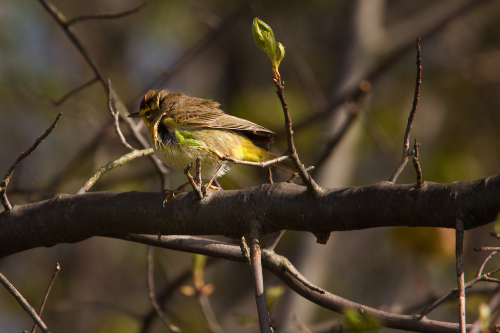A Palm Warbler ruffles his feathers.<br /> Sandy Ridge Reservation, North Ridgeville Ohio