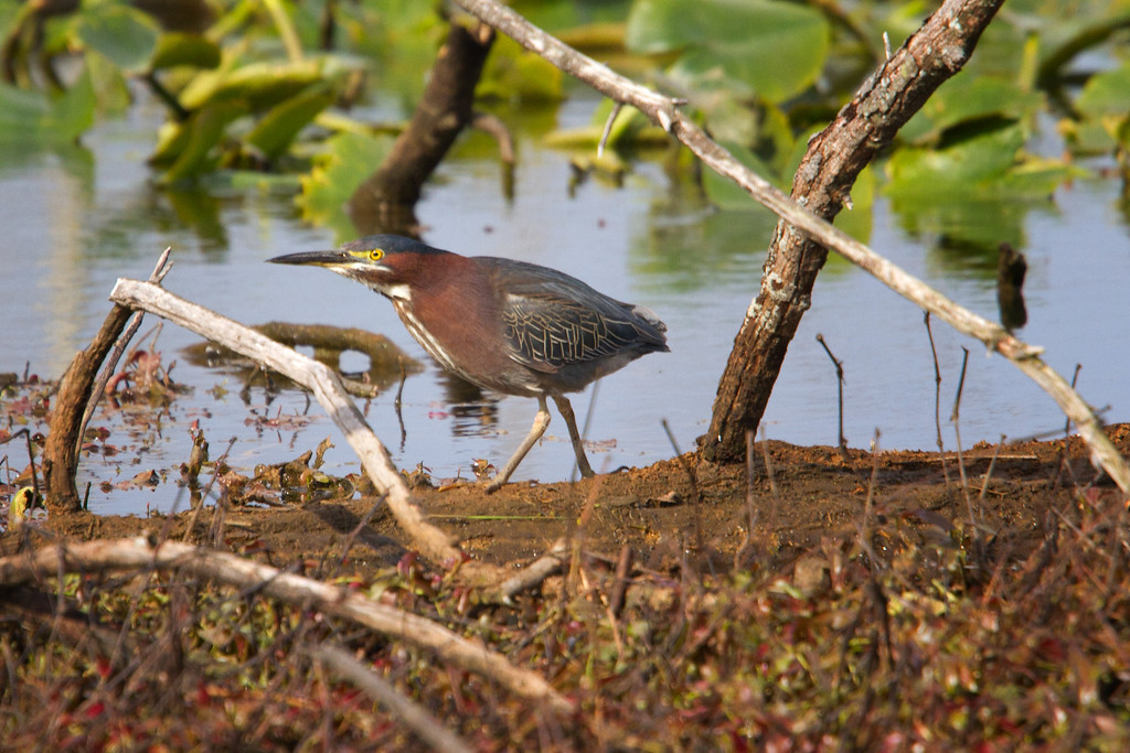 A Green Heron hunting for anything that moves.<br /> Sandy Ridge Reservation, North Ridgeville Ohio