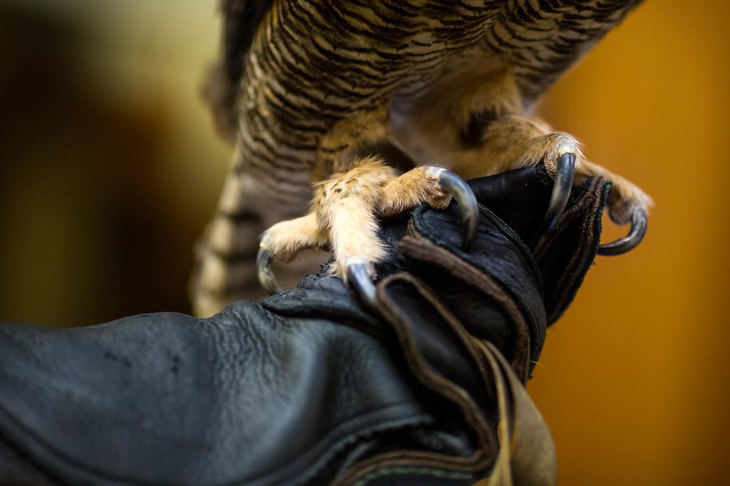 Talons of the Great Horned Owl