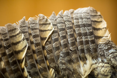Feathers from a Great Horned Owl