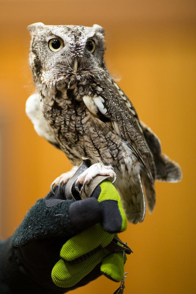 Eastern Screech Owl (gray phase)