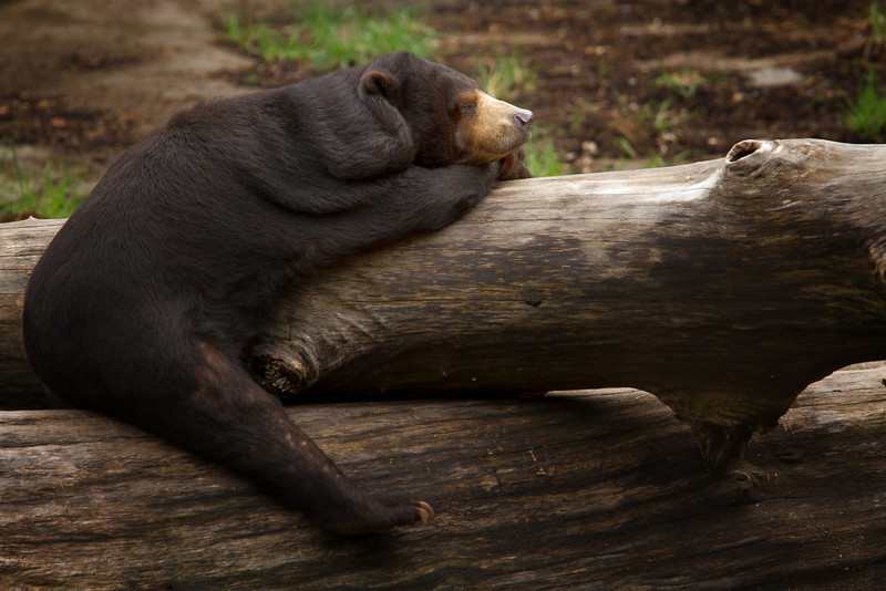 Malayan Sun Bear catching some Zzzz's under the warm Spring Sun at the Cleveland Zoo.<br /> Lens: Canon 70-200 F4L IS with Canon 1.4x Mark II extender