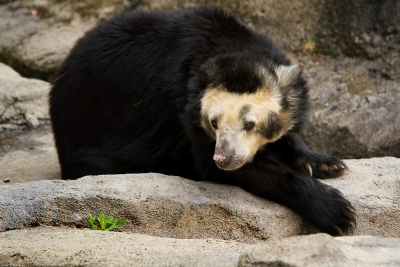 Spectacled Bear<br /> Lens: Canon 70-200 F4L IS with Canon 1.4x Mark II extender