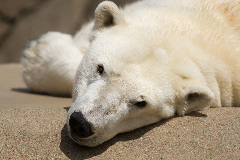 This weather is too warm for my blood - Polar Bear, Cleveland Zoo<br /> Lens: Canon 70-200 F4L IS with Canon 1.4x Mark II extender
