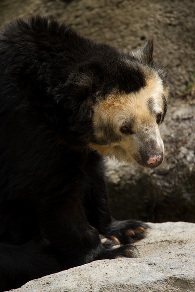 A Spectacled Bear feeling a little sad<br /> Lens: Canon 70-200 F4L IS with Canon 1.4x Mark II extender