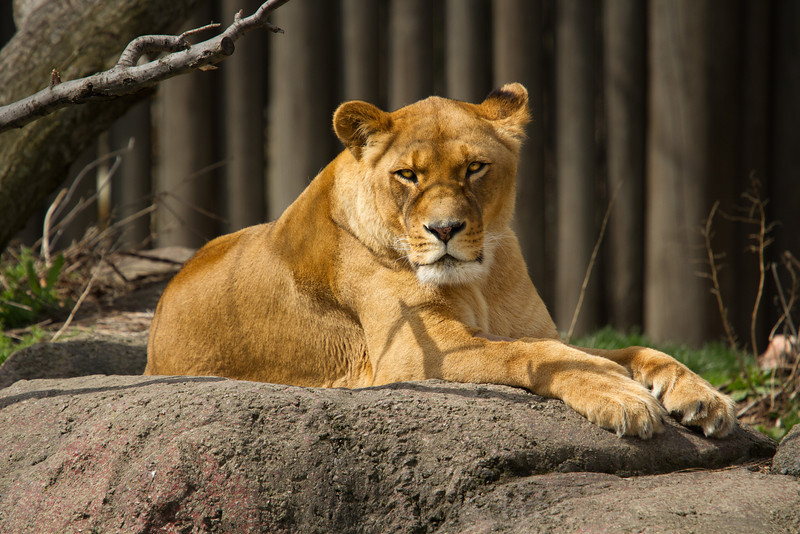 Lioness working on her tan.<br /> Lens: Canon 70-200 F4L IS with Canon 1.4x Mark II extender