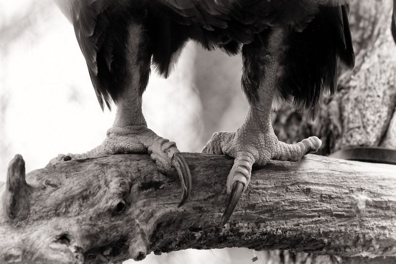 Weapons of Mass Destruction, Bald Eagle Talons<br />  Lens: Canon 70-200 F4L IS with Canon 1.4x Mark II extender