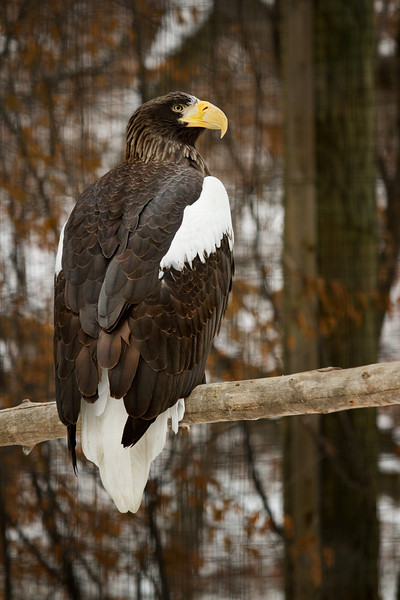 A really big Rapture, the Stellers Sea Eagle.