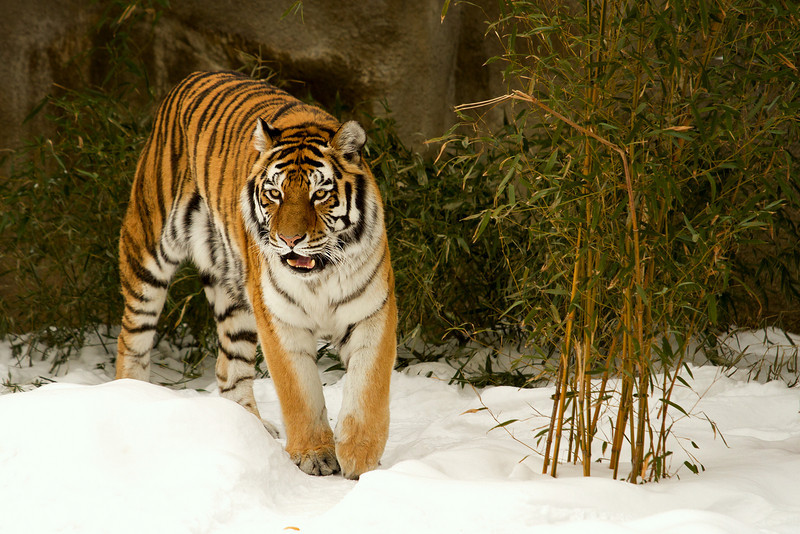 Bengal Tiger covering his territory.