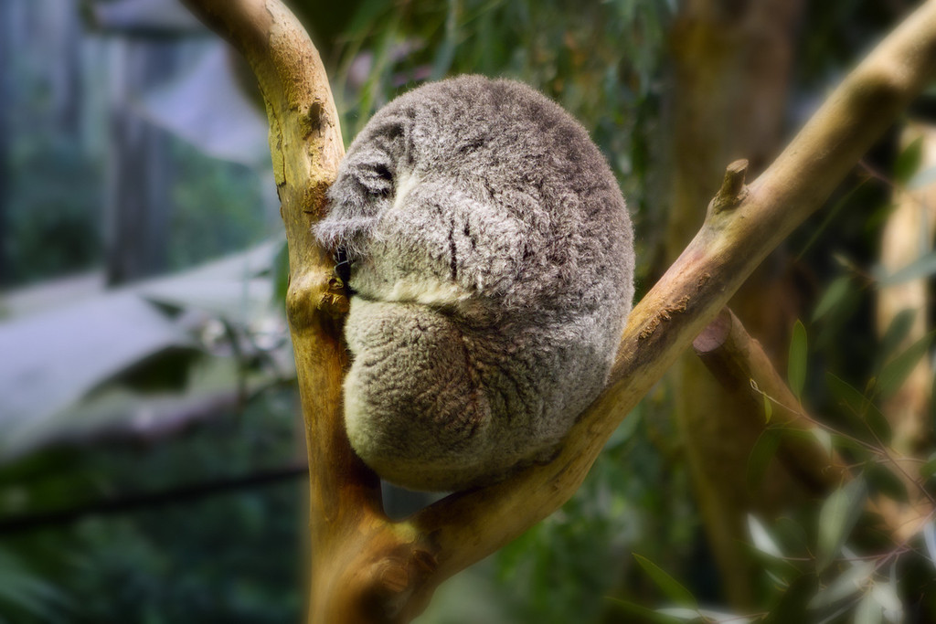 Bad time today to photography these Koala bears, all the did was sleep.