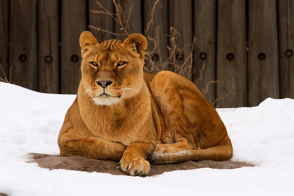 Beautiful lioness.  Some lion is a lucky dude... lol