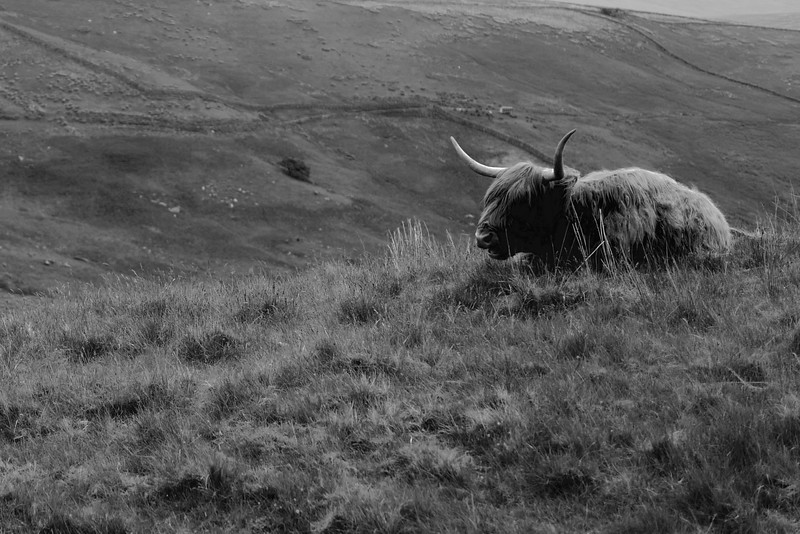 The Lonely Highland Cow