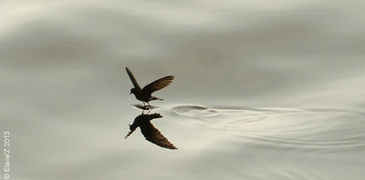 Storm Petrel dances on the ocean
