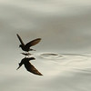 Storm Petrel dances on the ocean