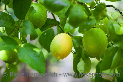 Lemon Tree - Citrus limon in Cirali, Turkey, Asia