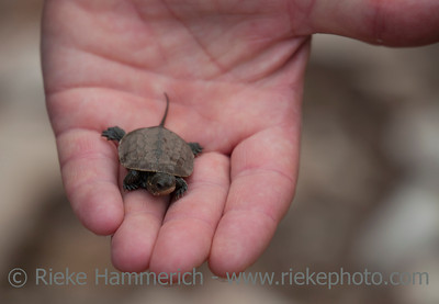 Loggerhead Turtle Hatchling on Palm of a human Hand - Caretta Caretta - Rescue after Flood Disaster in Olympos, Turkey,  Asia