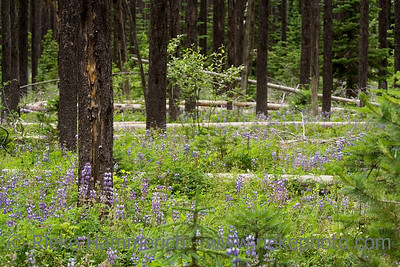 sub-alpine meadow - british columbia, canada - adobe RGB