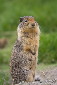Columbian Ground Squirrel upstanding - on a meadow - adobe RGB