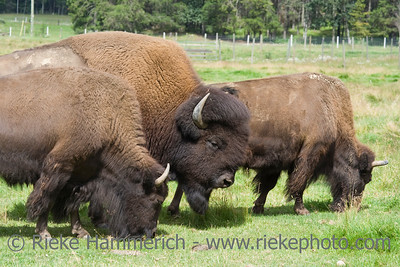 Buffalos on a meadow - Wells Gray Provincial Park, British Columbia, Canada