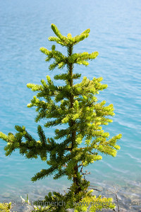 young fir tree on bow lake - canadian rockies, banff national park - adobe RGB