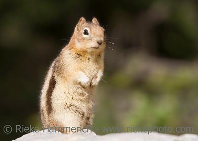 chipmunk in the rockies - on alert - adobe RGB