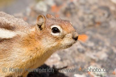 portrait of a curious chipmunk -  banff national park, canada - adobe RGB
