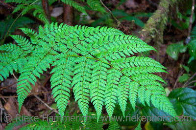 Fern Leaf in temperate Rainforest - Pacific Rim National Park, Vancouver Island, British Columbia, Canada