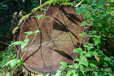 Fallen Douglas Fir – Pseudotsuga menziesii - Cathedral Grove, MacMillan Provincial Park, Vancouver Island, British Columbia, Canada