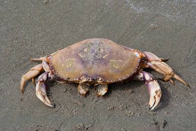 Dungeness Crab on Beach - Cancer magister on Long Beach, Pacific Rim National Park, Vancouver Island, British Columbia, Canada