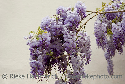 flowering wisteria sinensis - asian flora - adobe RGB