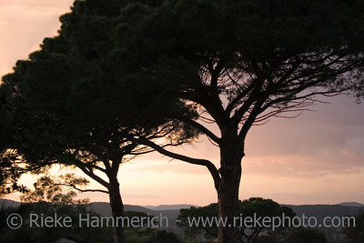 umbrella pines - sunset near the mediterranean sea - adobe RGB