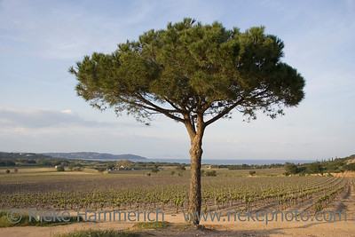 lone umbrella pine in a vineyard - french riviera, mediterranean sea - adobe RGB
