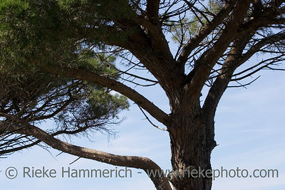 umbrella pine - branches against blue sky - adobe RGB