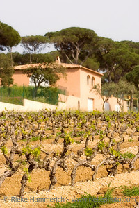 vineyard and winery in spring - French Riviera - shallow DOF, focus is on the front grapevines - - adobe RGB