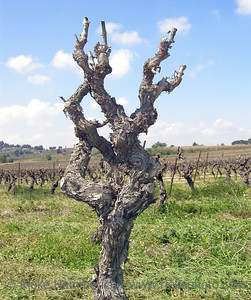 Winegrowing in Spring - Closeup of a Grapevine in a Vineyard