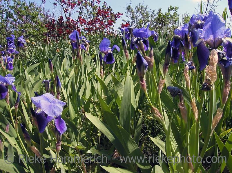 Bloomy Iris Meadow in Spring