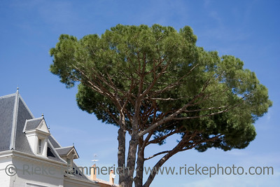 mediterranean stone pine near a luxury home - saint-tropez, french riviera - adobe RGB